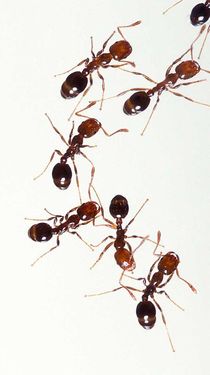 Alergia a picada de formiga de fogo