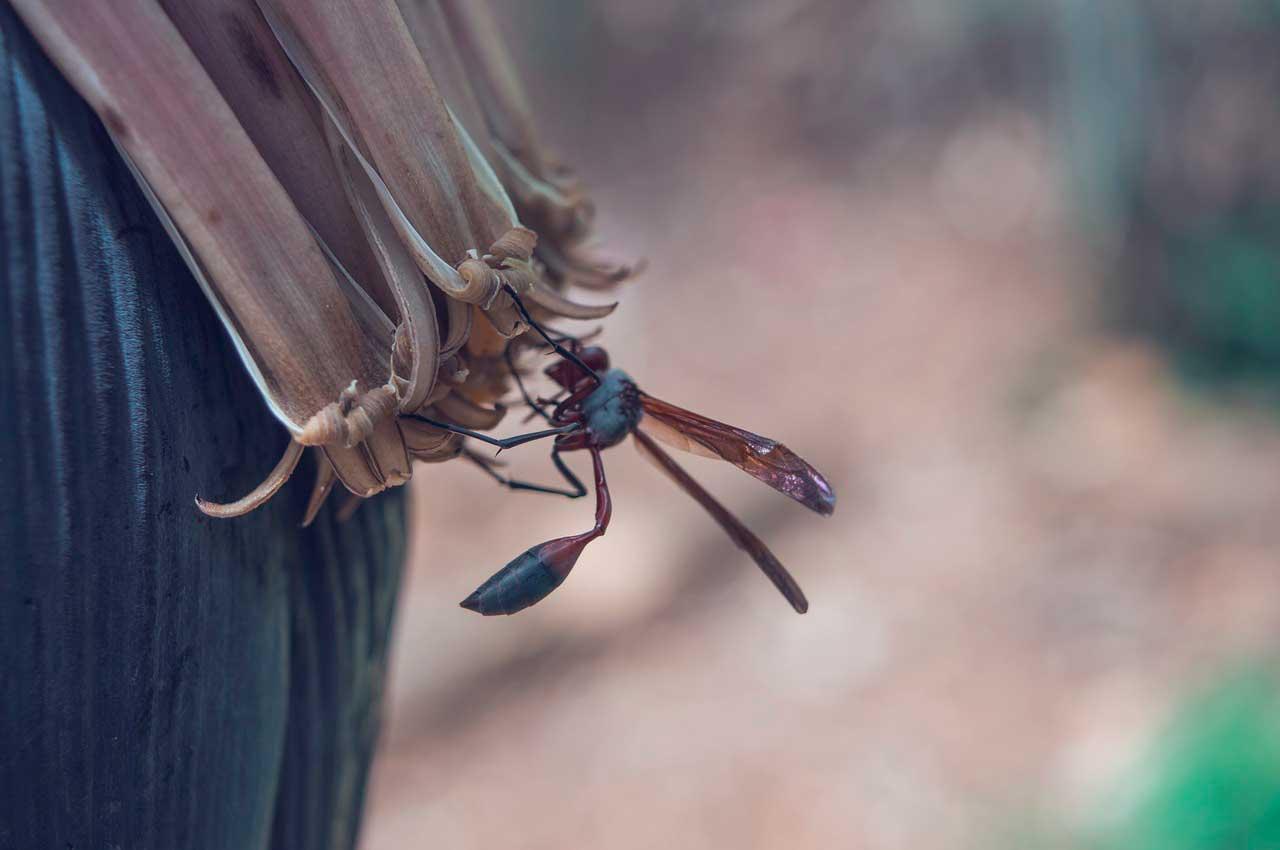 Alergia a picada de vespa | Sintomas, Reações e Tratamento
