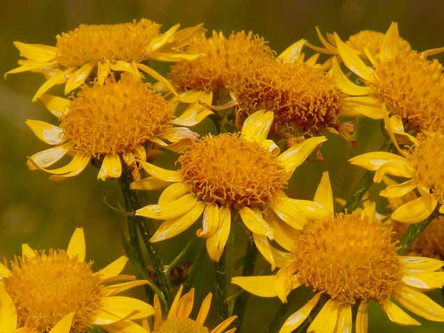 Arnica | O que é e para que serve, Homeopatia e Benefícios