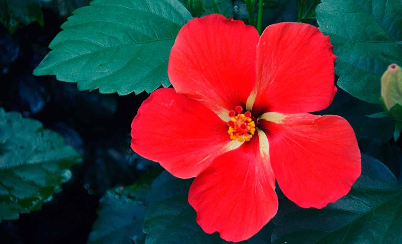 Benefícios do Chá de Hibisco e Extrato de Hibisco