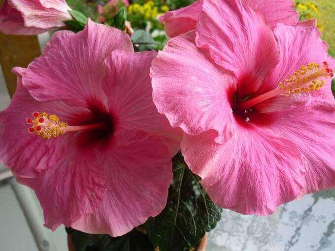 5 Benefícios incríveis para a saúde do chá de hibisco