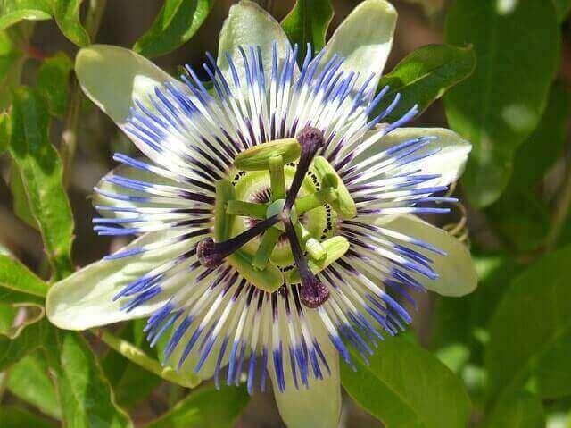 Passiflora Incarnata   Efeito Calmante e de Relaxamento