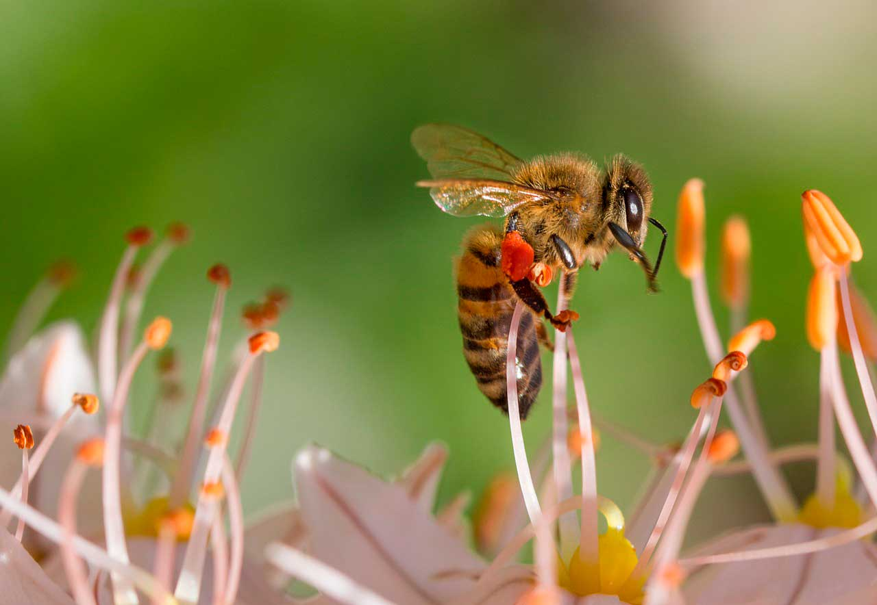 Reação Alérgica a Picada de Abelha - Saiba os Sintomas
