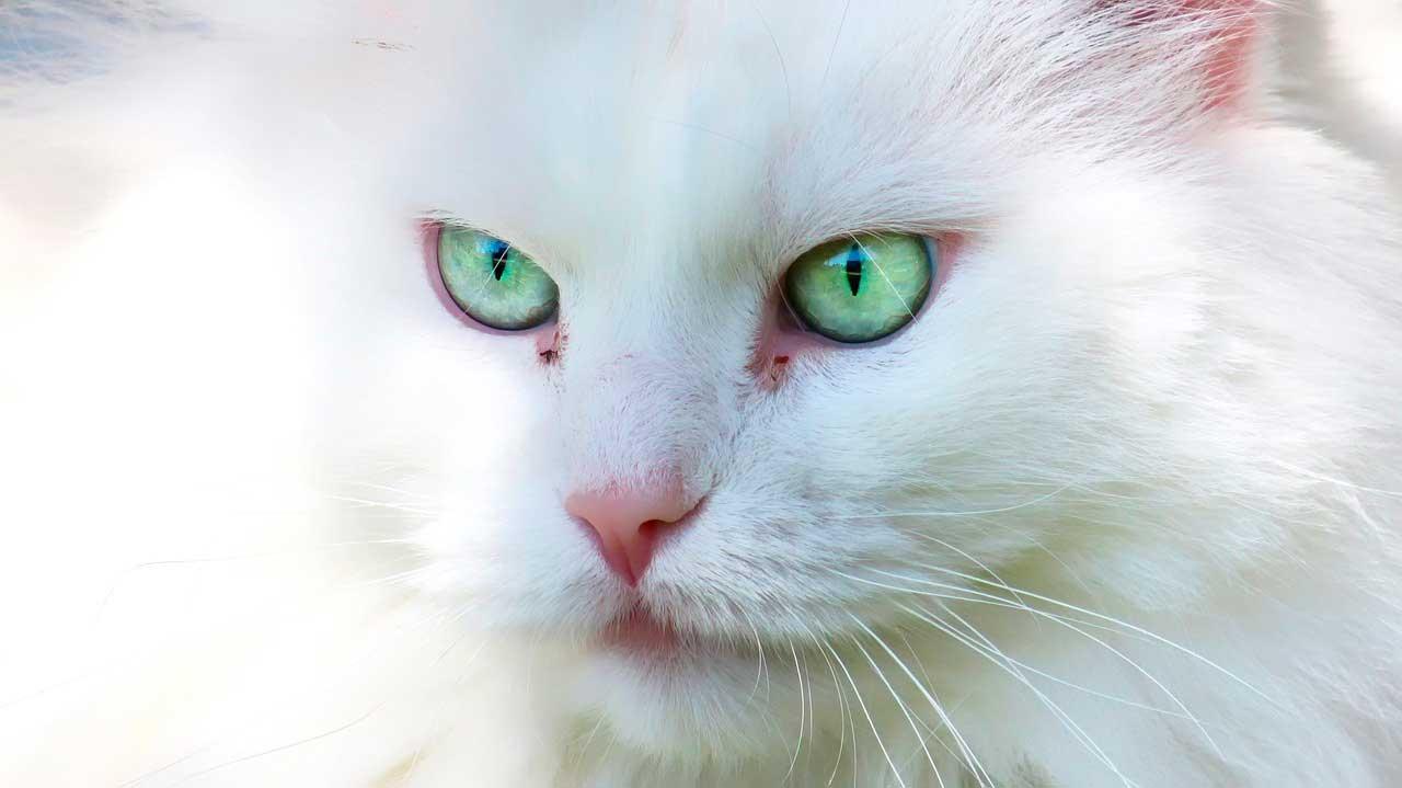 Síndrome do olho de gato | Causas, Sintomas e Tratamento