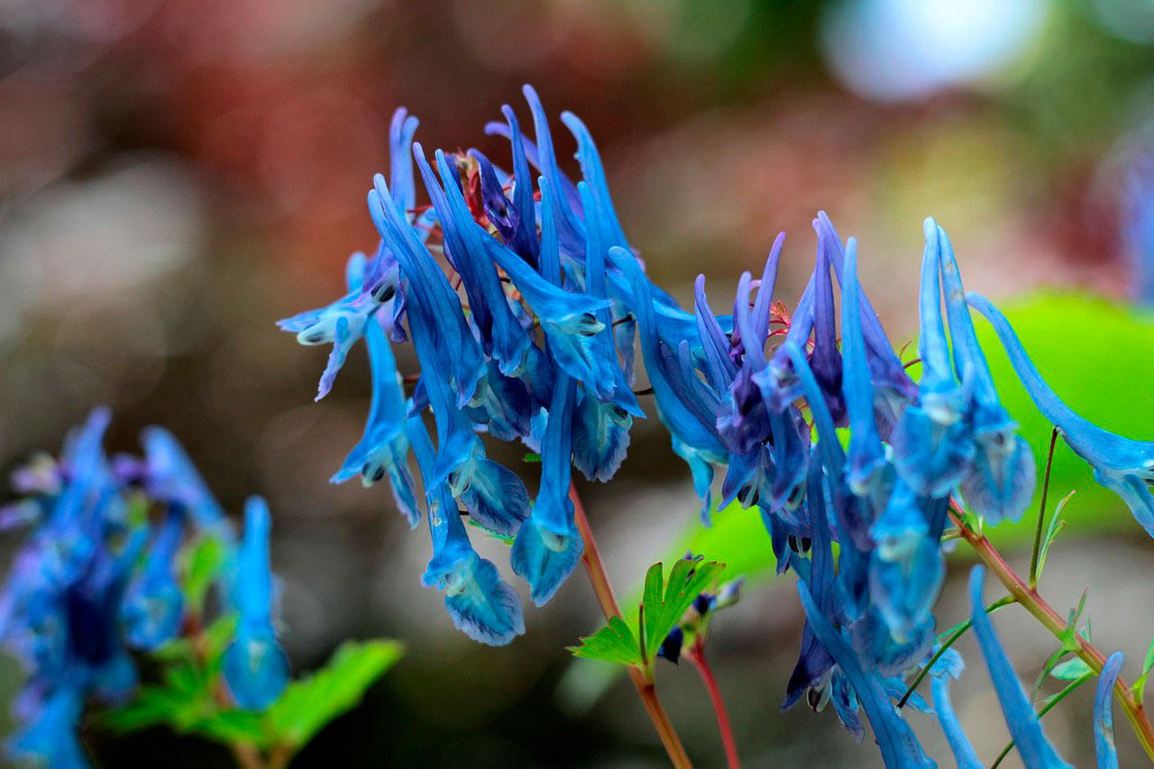 Rhizoma Corydalis na medicina chinesa | Benefícios para a saúde
